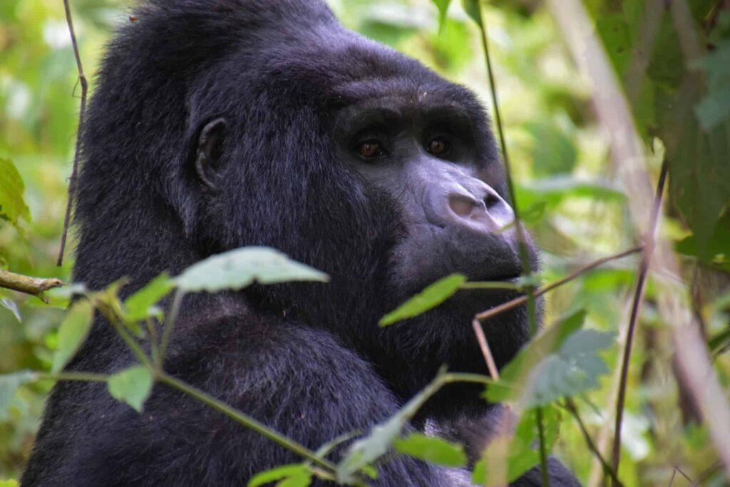 Schutz der Berggorillas